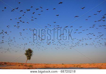 Flock Of Demoiselle Crains Flying In Blue Sky, Khichan Village, India