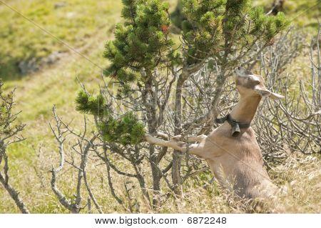 Brown Goat Eating