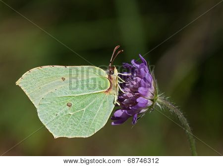 Common Brimstone On Blue Knautia Flower