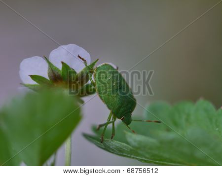 Green Shield Bug ( Palomena Prasina )