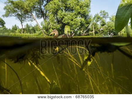 Duck Swims In The Lake View Under Water On The Algae And The Water At Floating Duck