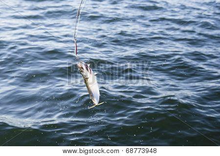 Fishing mackerel in the sea