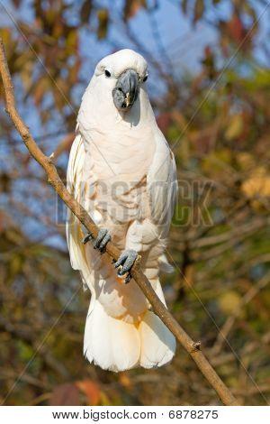 Cockatoo Stare