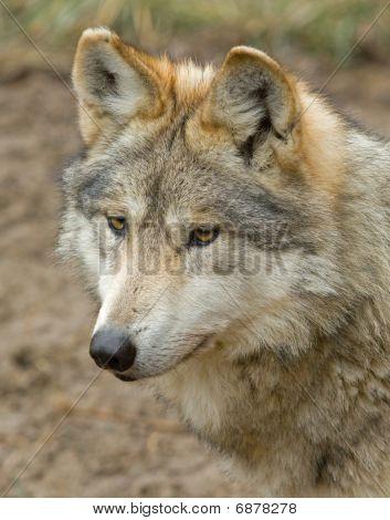 Wolfs Profile