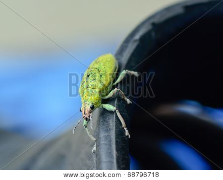 Green Weevil Hanging On Black Rubber