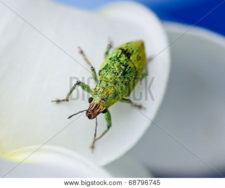 Green Weevil Hanging On White Petal With Blur Blackground