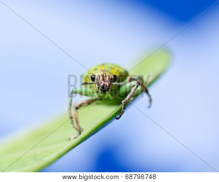Green Weevil Hanging On Green Leaf  With White  Blur Blackground