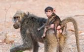 Chacma Baboon, Papio urisinus, mother and child. poster