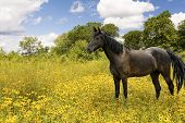 Photo of a beautiful dark brown horse grazing in a pasture filled with black eyed susan's wildflowers. poster
