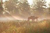 horses on pasture in dense fog with sunbeams poster