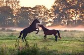 two playing horses on misty pasture at sunrise poster