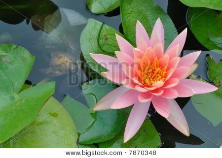 Pink flower in pond