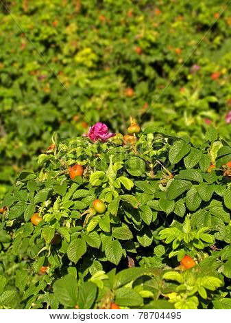 Flowering and fruiting bushes of briar. Shallow depth of field poster