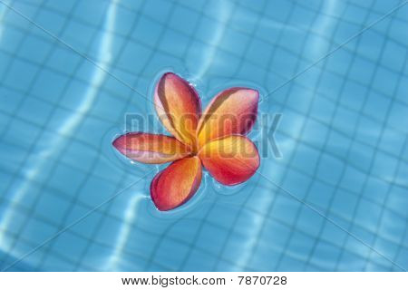 Tropical Frangipani Floating In Blue Pool
