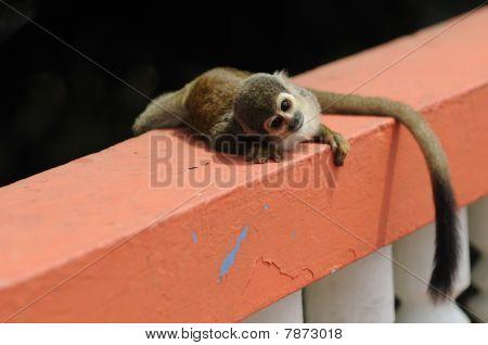 Eichhörnchenaffe