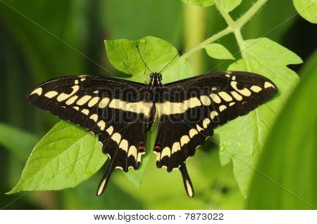 Giant Swallowtail Papilio Kresphontes