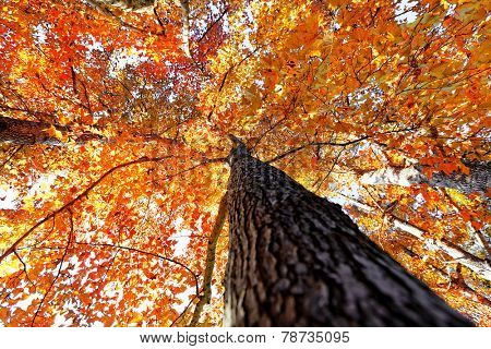 tree in the Fall with the sun shining through at day poster
