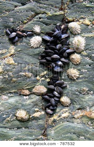 Mussels on Rock