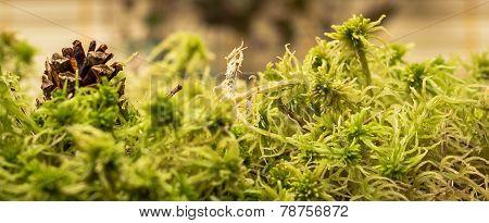 Green sphagnum moss. Shallow depth of field. poster