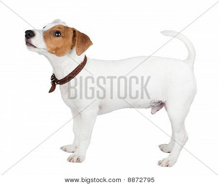Jack Russell Terrier, cachorro