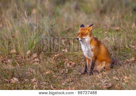 Red Fox In Natural Invironment