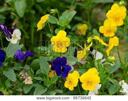 Pensies Flowers, Viola Tricolor Pansy