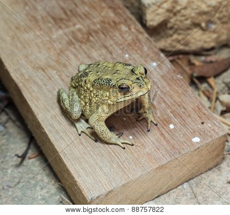 close-up photo of the Duttaphrynus melanostictus Asia toad