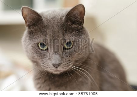 grey cat lookin directly to the camera