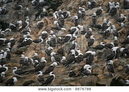 Birds at the Ballestos Islands