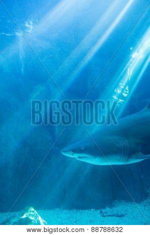 Shark swimming alone in a tank at the aquarium