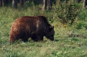 brown bear (ursus arctos)are walking in the green meadow poster
