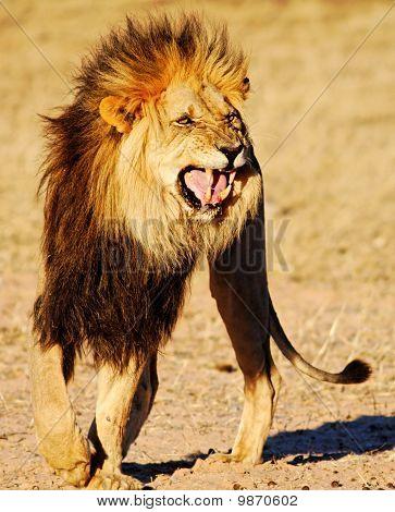 Lion showing Flehmen response