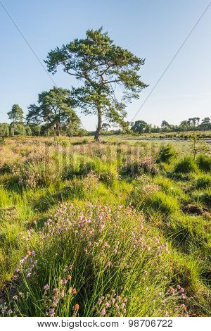 Nature Area With Pink Flowering Heather And Trees