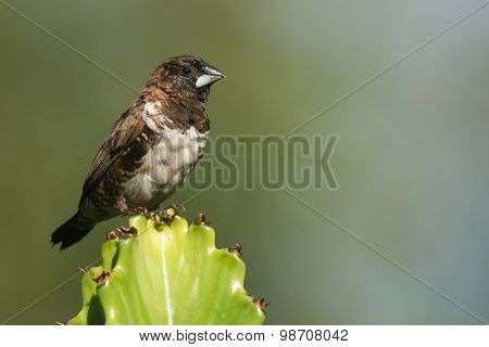 Bronze Mannikin (lonchura Cucullata) Perched On A Cactus
