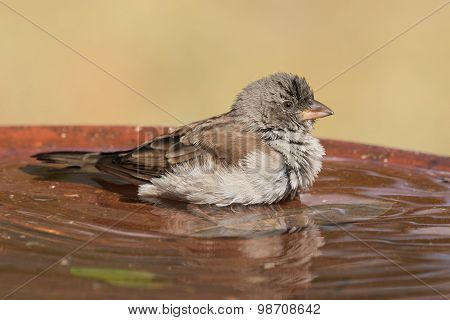 Southern Grey-headed Sparrow (passer Diffusus) With Ruffled Feathers In A Bird Bath