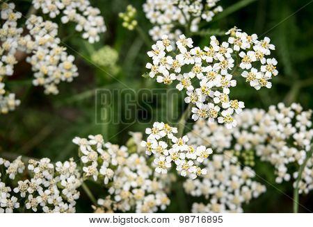 Achollea alpina var longiligulata, Yarrow, Yarrow White, Asteraceae,