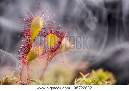 Leaf of Sundew.