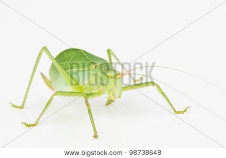 Green Long-horned Grasshopper