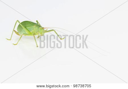 Female Green Katydid