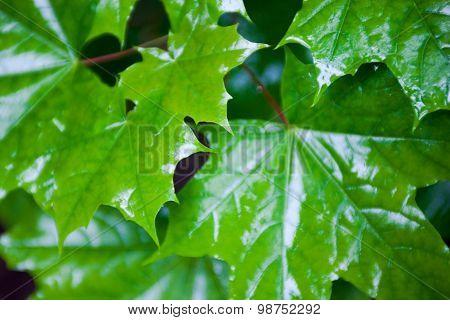 Wet Green Maple Leaves