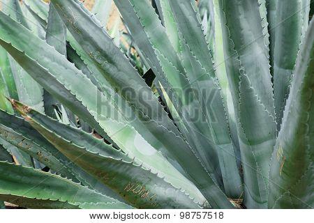 Huge agave plants