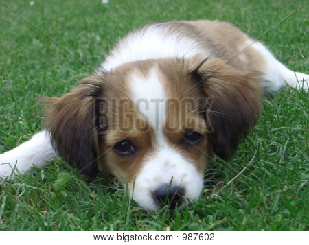 a puppy lying in the green grass poster
