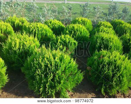 Smal light green firs