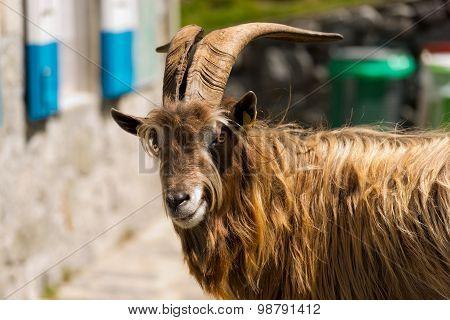 Mountain Male Goat