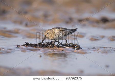 Dunlin Calidris alpina walking in the sea