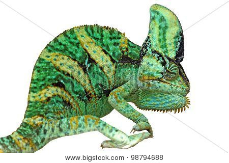 Chameleon Or Calyptratus  Isolated On White