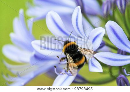 African Agapanthus (agapathus Africanus) With Bumble Bee