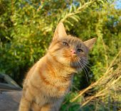 inquisitive ginger cat or kitten at sunset close-up macro poster