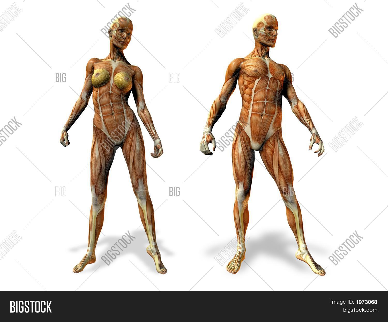 Femalemale Anatomy Image Photo Free Trial Bigstock