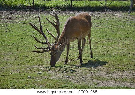 One deer out a turn in field, Sofia, Bulgaria